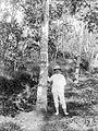 COLLECTIE TROPENMUSEUM Europeaan poseert naast een Hevea rubberboom TMnr 10023834.jpg