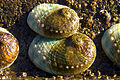 CSIRO ScienceImage 7169 Cultured abalone.jpg