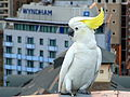 Cacatua galerita -Sydney, Australia -perching on a roof-8.jpg