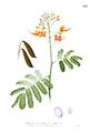 Caesalpinia pulcherrima Blanco1.112.png