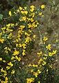 Calicotome villosa 1.jpg