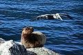 California sea lion (Zalophus californianus) Catalina and pelican.jpg
