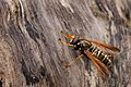 Caliprobola speciosa, Forêt de Soignes, Brussels (27392062051).jpg