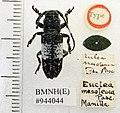 Callimetopus mesoleuca (Pascoe) (5189155083).jpg