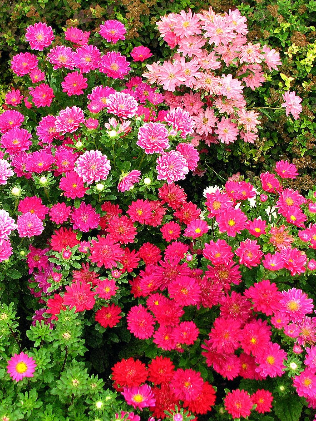 Callistephus chinensis (in a flowerbed) 02.jpg