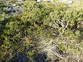 Calothamnus chrysanthereus (habit).JPG