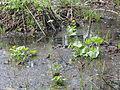 Caltha palustris 5792.jpg