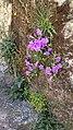 Campanula carpatha (Καμπανούλα της Καρπάθου).jpg