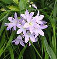 Campanula lactiflora 'Senior'. Locatie, Tuinen van Mien Ruys.jpg