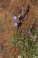 Campanula rotundifolia 3537.JPG