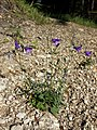 Campanula rotundifolia sl18.jpg