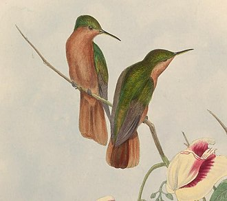 Rufous-breasted sabrewing - Image: Campylopterus hyperythrus