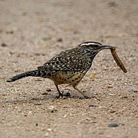 A wren holding an insect in its beak while on the ground