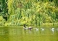 Canada Geese (Branta canadensis) - geograph.org.uk - 1407097.jpg