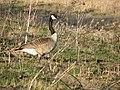 Canada Goose (465756743).jpg