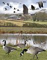 Canada Goose from the Crossley ID Guide Britain and Ireland.jpg