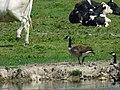 Canada Goose in a Herd of Cows.jpg