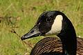 Canada goose (Branta canadensis) head.jpg