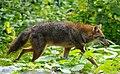 Canis aureus Kaeng Krachan national park.jpg