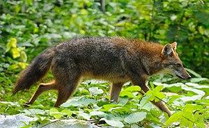Goldschakal (Canis aureus)