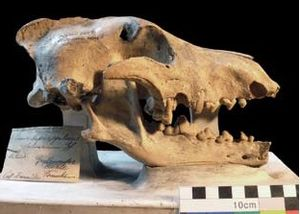 Cave wolf - The Goldfuss holotype, Berlin's Natural History Museum