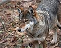 Canis rufus 2 - Syracuse Zoo.jpg