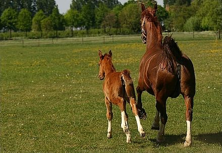 A foal will be able to run alongside of its dam within a few hours of birth. CanonKiss 1796.jpg