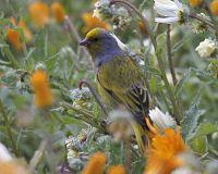 Cape Canary (Serinus canicollis).jpg