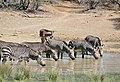 Cape Mountain Zebras (Equus zebra zebra) drinking ... (31758916523).jpg