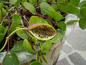 Capparis - Many birds eat ripe Capparis spinosa fruit and seeds.