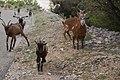 Capra aegagrus (Chèvre sauvage) - 53.jpg