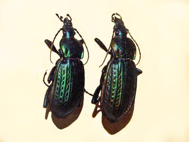 File:Carabidae - Carabus morbillosus.JPG