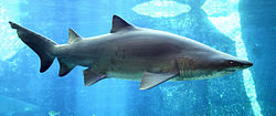 Carcharias taurus in UShaka Sea World 1079-a.jpg