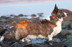 Cardigan Welsh Corgi, Profile.png