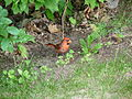 Cardinal rouge mâle.JPG