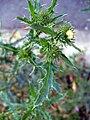 Carduus acanthoides syp 5.JPG