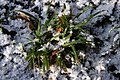 Carex-sylvatica-winter.jpg