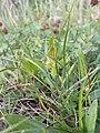 Carex oederi sl3.jpg