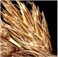 Carex ovalis inflorescens (17).jpg