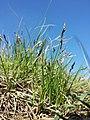 Carex praecox sl26.jpg