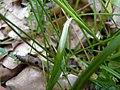Carex spicata leaf (2).jpg