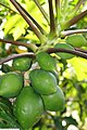 Carica papaya Tropical Dwarf Papaya 5zz.jpg