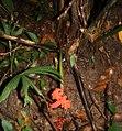 Carludovica palmata 3.jpg