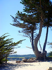 leyland cypress wikipedia