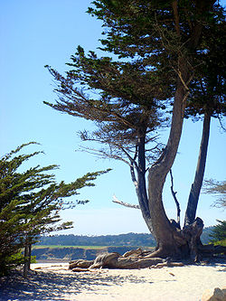 View towards the town's white-sand beach with an old Monterey Cypress in the foreground
