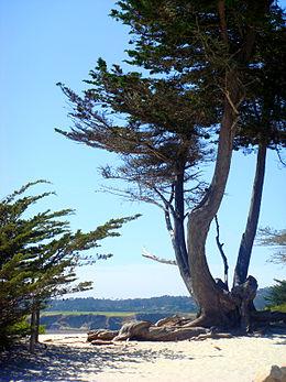 Vista della spiaggia di Carmel. In primo piano un antico Cupressus macrocarpa