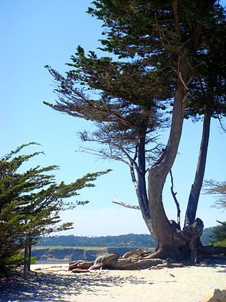 Carmel-by-the-Sea, California - View towards the city's white-sand beach with an old Monterey Cypress in the foreground