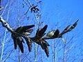 Carolina poplar buds (Sault Canal) 2.JPG