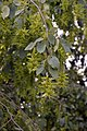 Carpinus betulus fruits.jpg
