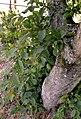 Carpinus betulus water sprouts (01).jpg